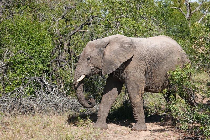 Kruger elefant royaltyfri bild