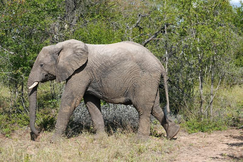 Kruger elefant fotografering för bildbyråer