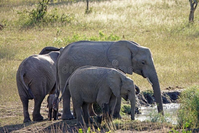 Kruger elefanter royaltyfria foton