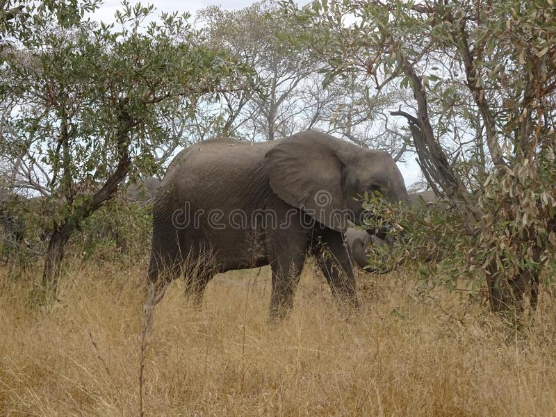 Kruger för afrikansk elefant nationalpark Sydafrika fotografering för bildbyråer