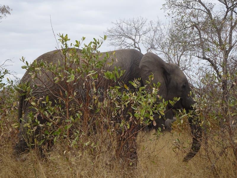 Kruger för afrikansk elefant nationalpark Sydafrika royaltyfria foton