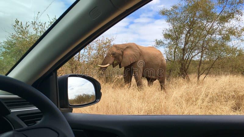 Kruger för afrikansk elefant nationalpark Sydafrika arkivfoton