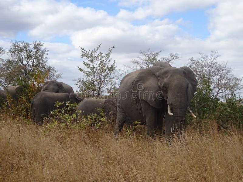 Kruger för afrikansk elefant nationalpark Sydafrika royaltyfri foto