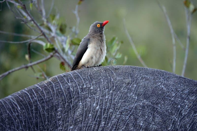 Kruger geel-Gefactureerde oxpecker vogel stock afbeelding