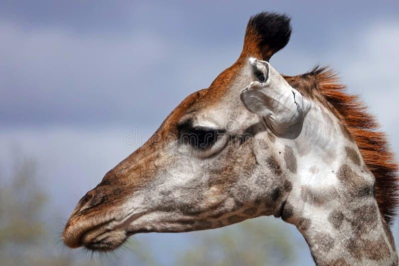 Kruger giraff royaltyfri fotografi