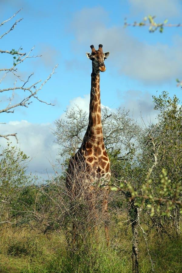Kruger giraff royaltyfri bild