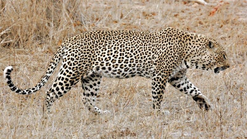 kruger leopard εθνικές άμμοι sabi πάρκων στοκ εικόνες με δικαίωμα ελεύθερης χρήσης