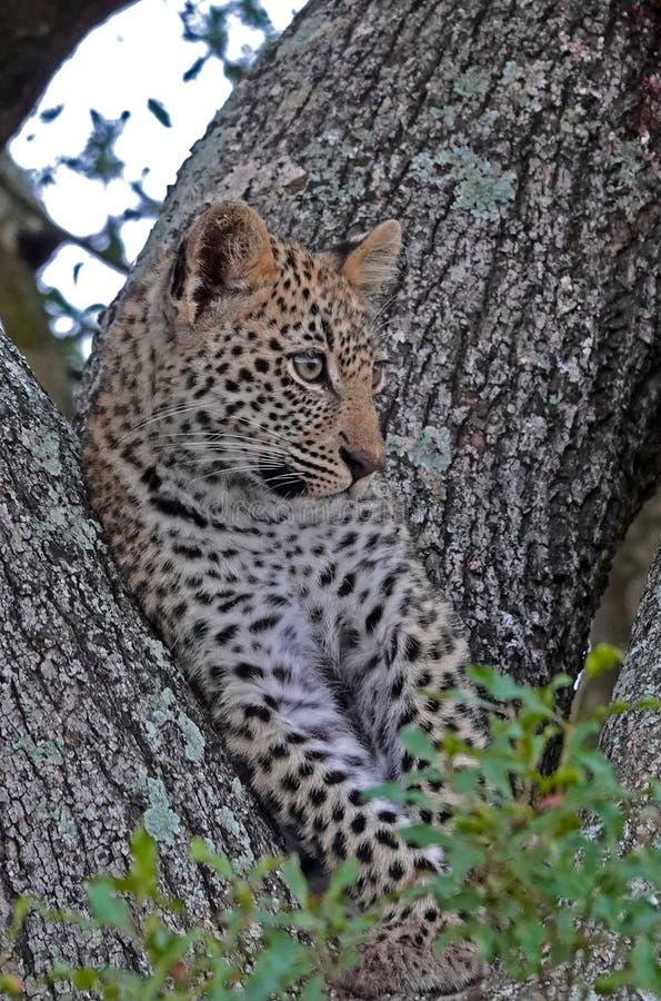Kruger leopardgröngöling royaltyfria foton