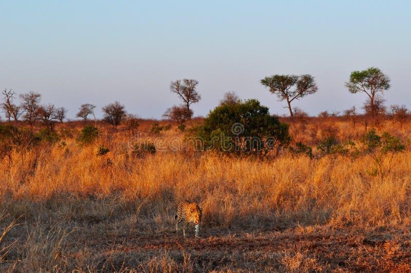 Kruger nationalpark-, Limpopo och Mpumalanga landskap, Sydafrika arkivfoto