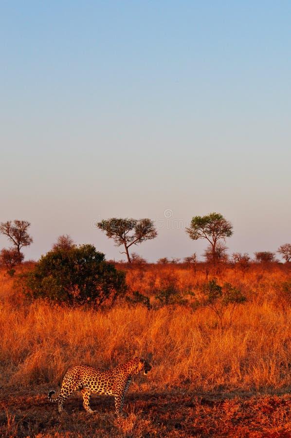 Kruger nationalpark-, Limpopo och Mpumalanga landskap, Sydafrika arkivfoton