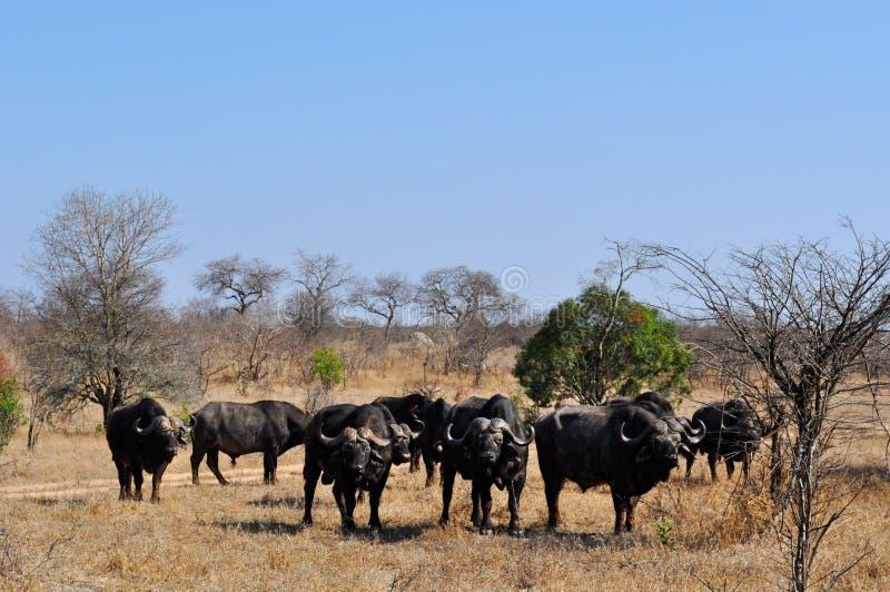 Kruger nationalpark-, Limpopo och Mpumalanga landskap, Sydafrika royaltyfria bilder