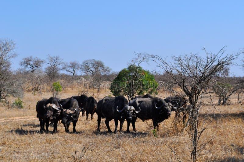 Kruger nationalpark-, Limpopo och Mpumalanga landskap, Sydafrika royaltyfria foton