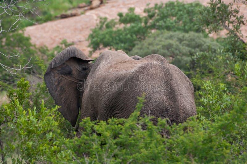 Kruger nationalpark, Mpumalanga, Sydafrika royaltyfri foto
