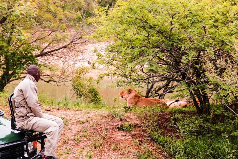 Kruger nationalpark, Sydafrika - 2011: En safarihandbok som ser ett lejon royaltyfri foto