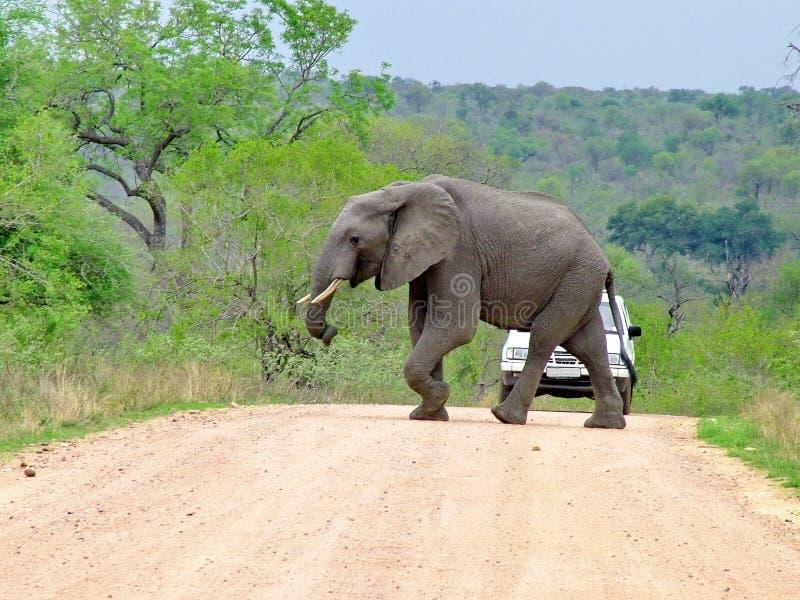 Kruger nationalpark, Sydafrika, November 11, 2011: Elefantkorsning grusväg arkivfoton
