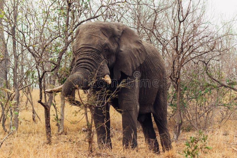 Kruger nationalpark Sydafrika royaltyfria bilder