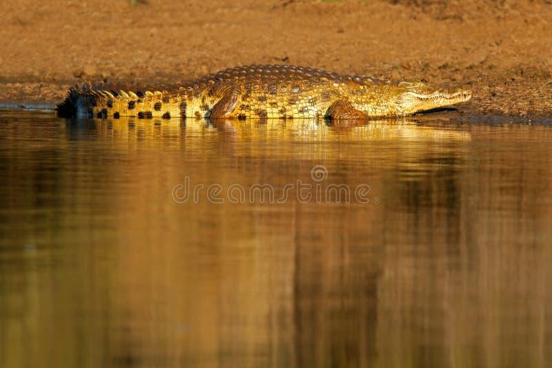 kruger Nilu afryce krokodyla park na południe obrazy royalty free