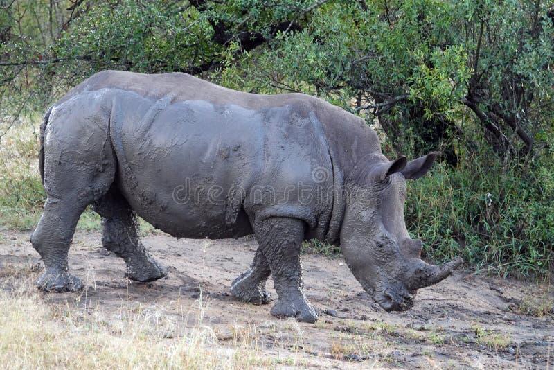 Kruger noshörning royaltyfria bilder
