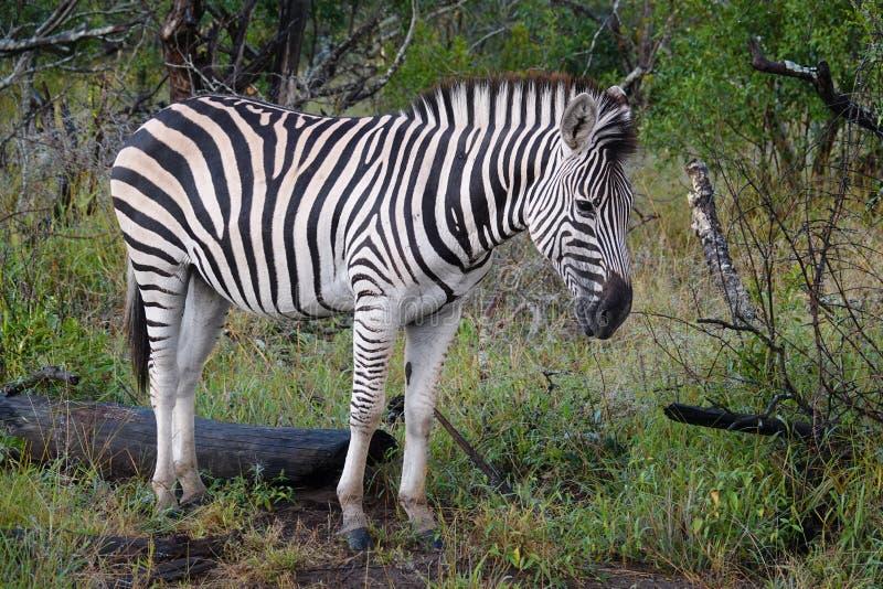 Kruger sebra arkivfoto