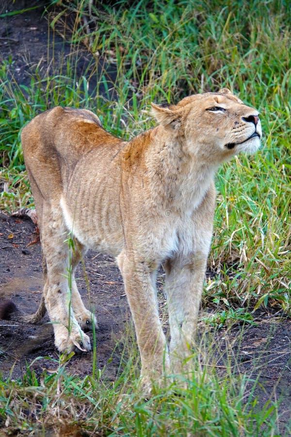 Krugerleeuw royalty-vrije stock foto