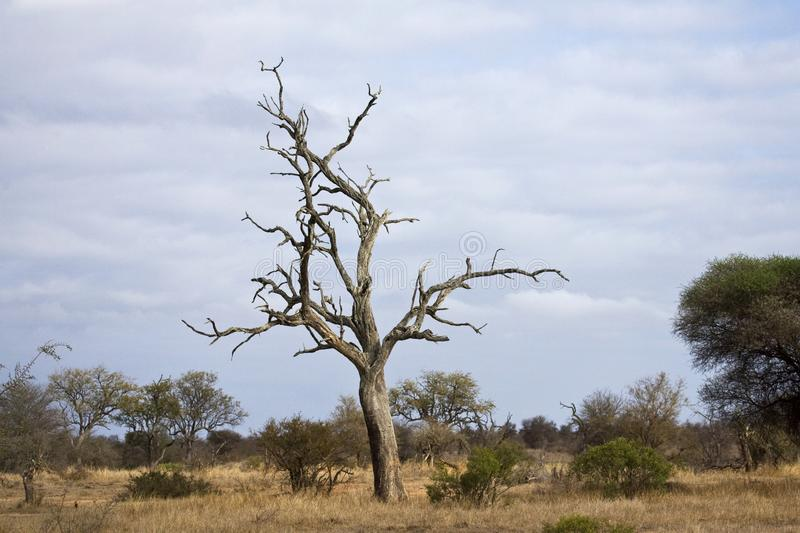 Krugerpark, South-Africa stock photography