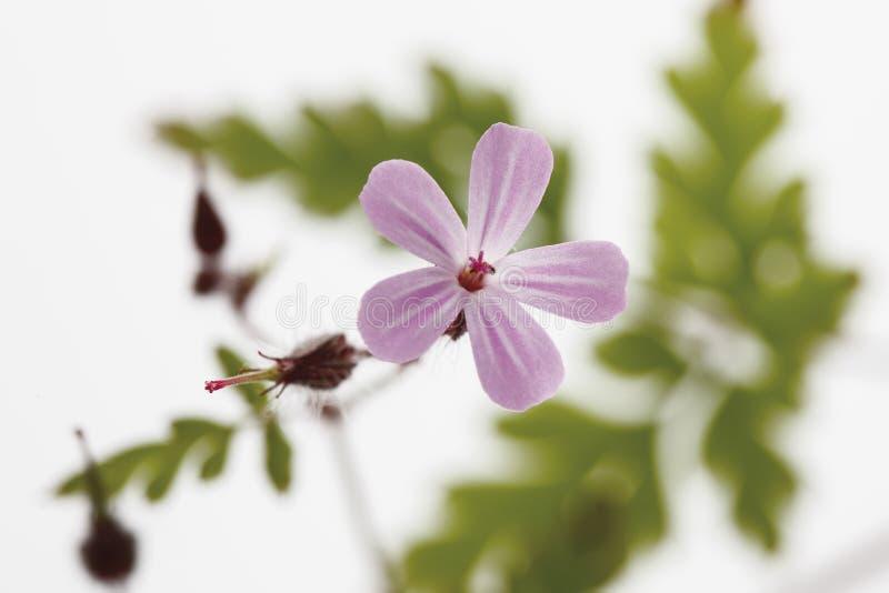 Kruid Robert (Geraniumrobertianum, Robertiella-robertiana) royalty-vrije stock afbeelding