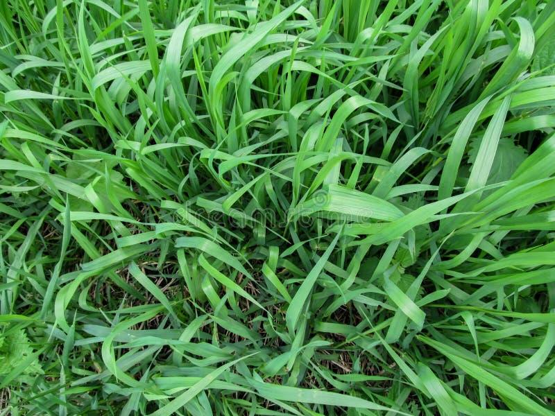 Kruidachtige achtergrond van sappig hoog groen kweekgrasclose-up stock foto's