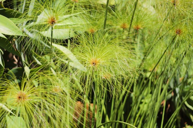 Kruidachtige installatie - Cyperus-papyrus stock fotografie