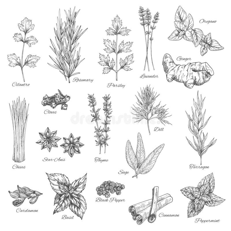 Kruiden en kruiden vectorschetspictogrammen vector illustratie