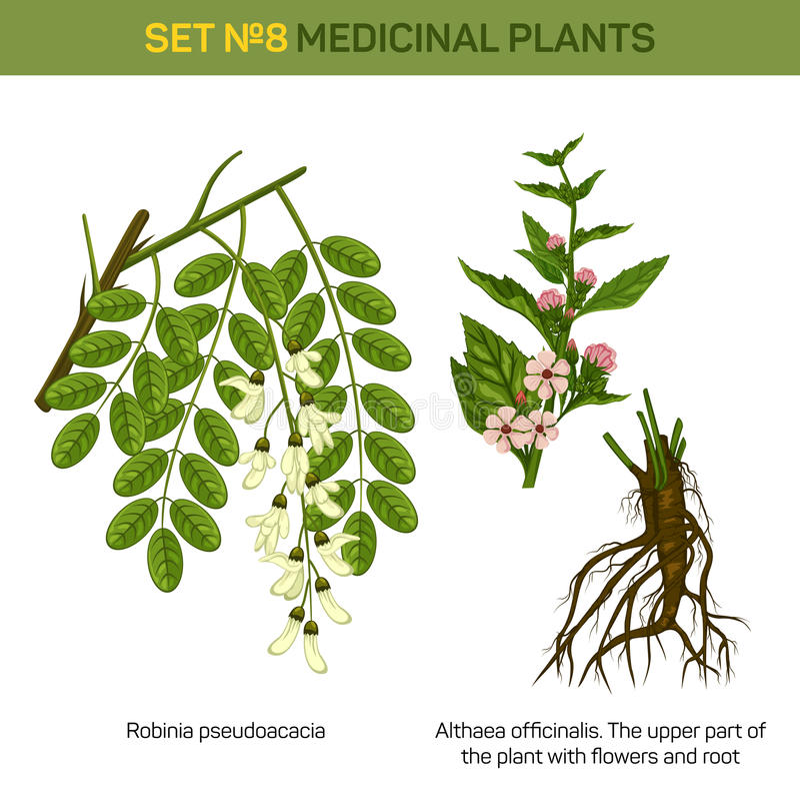 Kruidenrobiniapseudoacacia of zwarte sprinkhanentak van boom met bladeren in bloesem en althaeaofficinalis of heemst royalty-vrije illustratie
