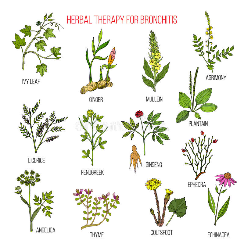 Kruidentherapie voor bronchitisklimop, agrimony gember, mullein, zoethout, fenegriek, ginseng, ephedra, weegbree, engelwortel stock illustratie