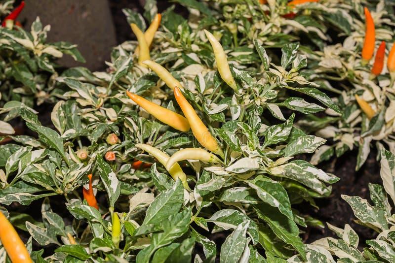 Kruidige Spaanse peper in tuin royalty-vrije stock afbeelding