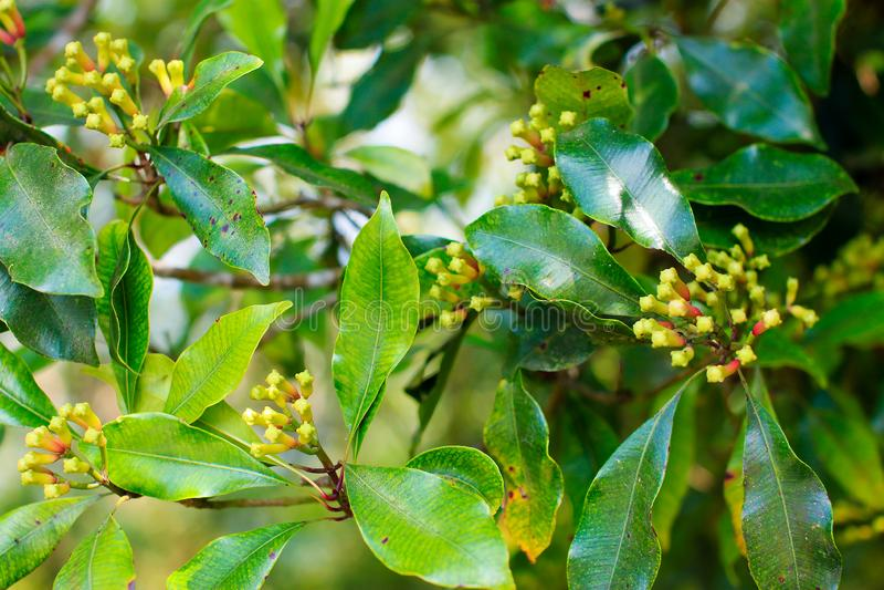 Kruidnagel het groeien met groene bladeren op de boom, Bali royalty-vrije stock afbeelding