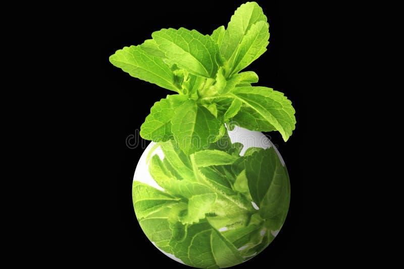 Kruidstevia met gaat groen embleem stock foto