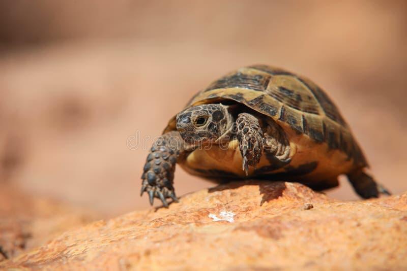 Kruipende schildpad stock afbeeldingen