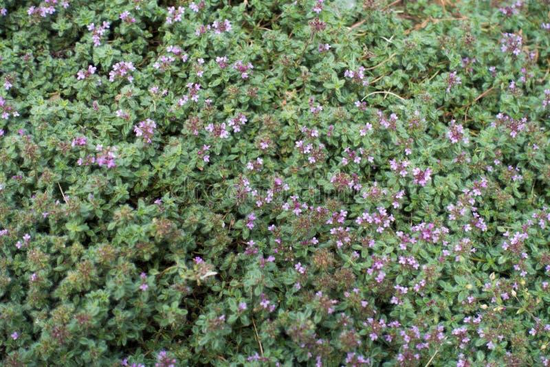 Kruipende thyme met roze bloemen en knoppen stock fotografie