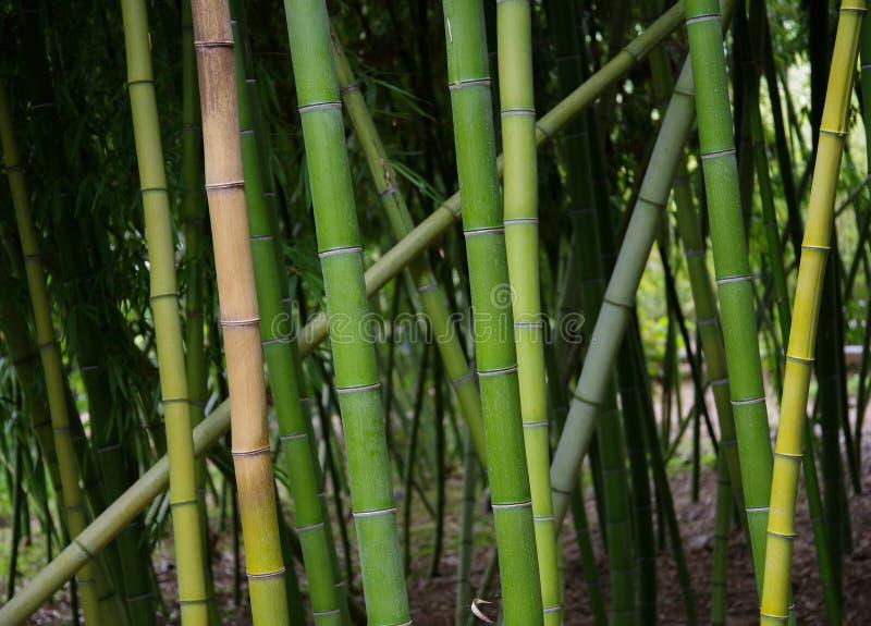 Kruiselings patroon van bamboebosje in San Diego, Californië