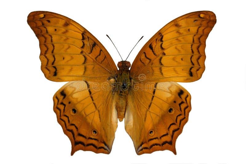 Kruiser (vlinder) royalty-vrije stock foto's