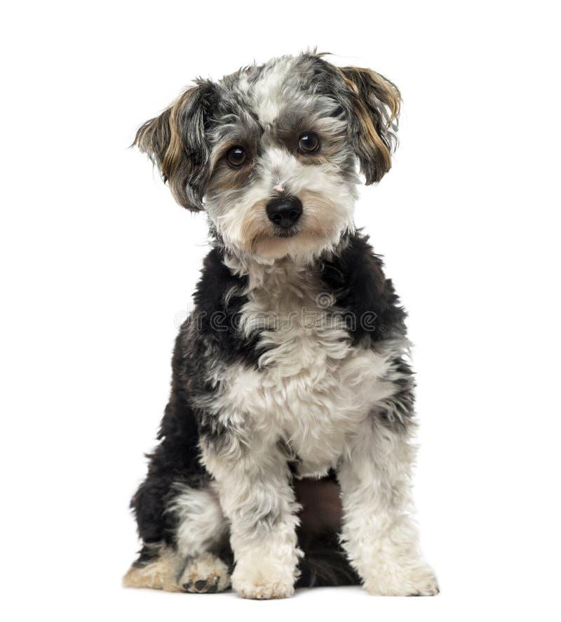 Kruisingshond (1 éénjarige) royalty-vrije stock foto