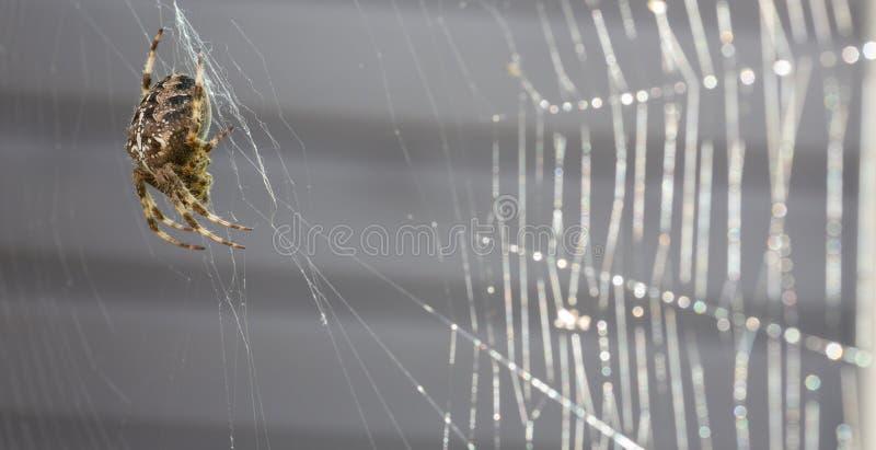 Kruisspinmacro met spinneweb stock afbeeldingen
