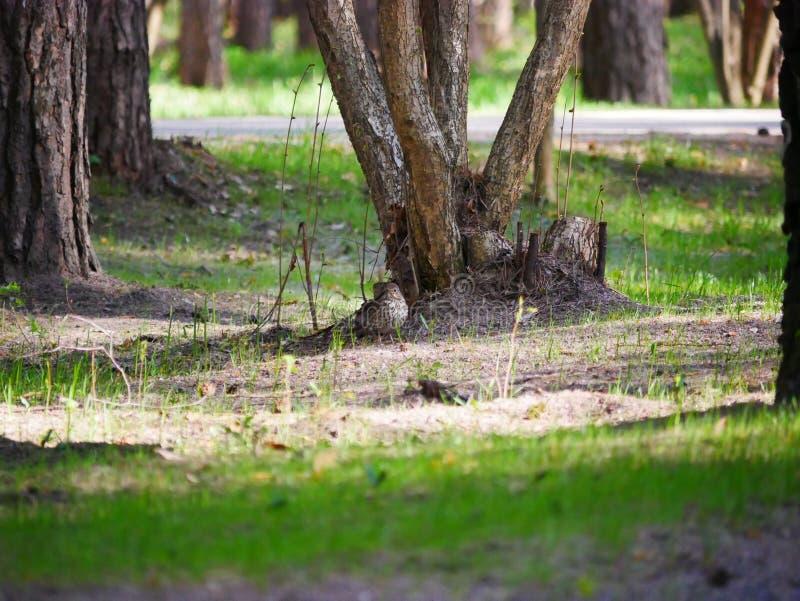 Kruk je ryby ?api?cej w stawie miasto park Na pogodnym letnim dniu Popielaci wron polowania Brzeg staw w cit zdjęcia stock