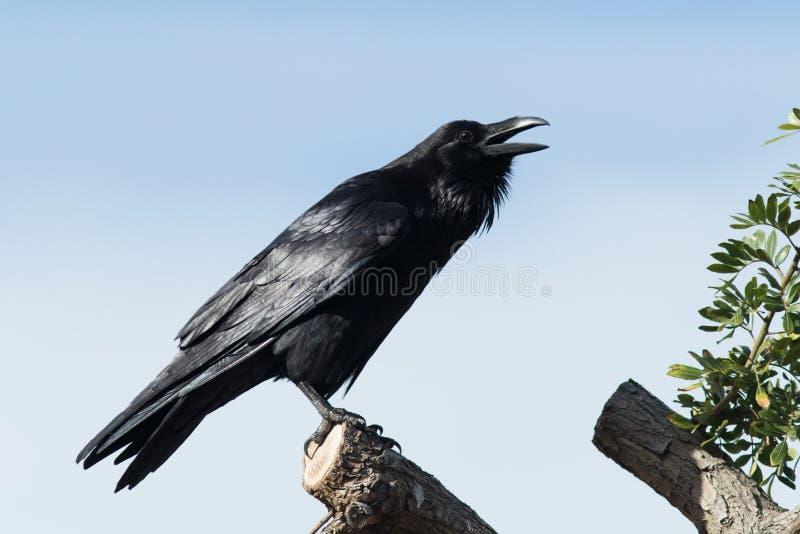 Kruk umieszczał w górę wysokości w drzewie dzwoni dla terytorium założenia obrazy stock