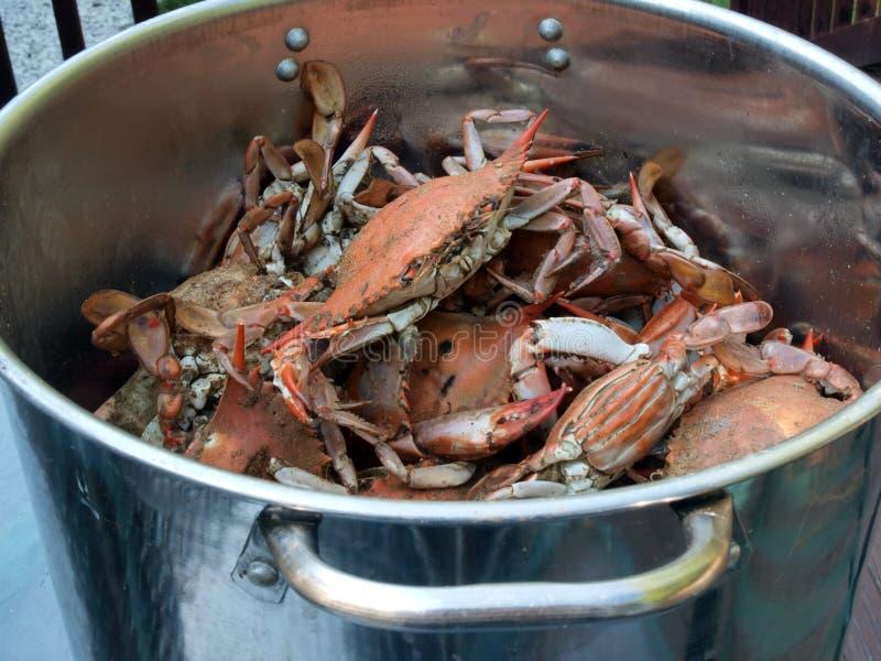 kruka för 2 blå lagad mat krabbor royaltyfri bild