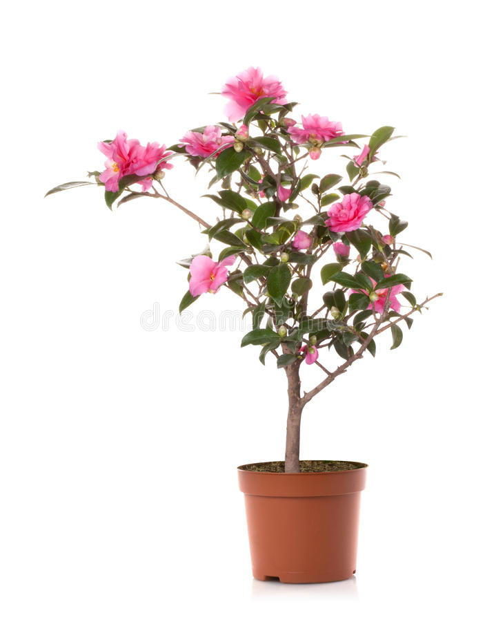 kruka för bonsaicamelliablomma arkivfoto
