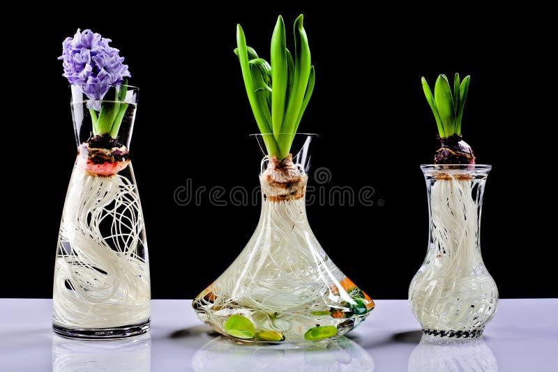kruka för hyacint för kulablomma växande royaltyfri foto