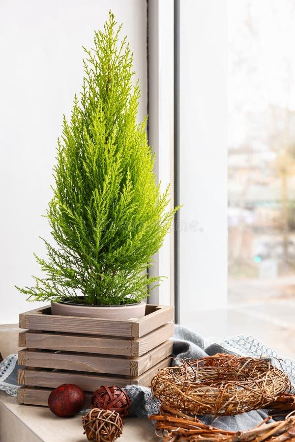 Kruka med citroncypressträdet på fönsterfönsterbräda arkivfoto