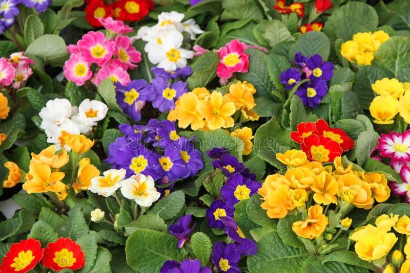 Krukor av blomning i primula fjädrar i grossist 1 fotografering för bildbyråer