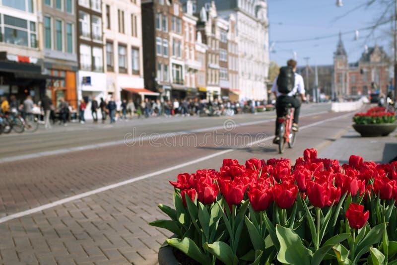 Krukor av röda tulpan och oidentifierad en man som rider en cykel i mitten av Amsterdam, Nederländerna royaltyfria foton