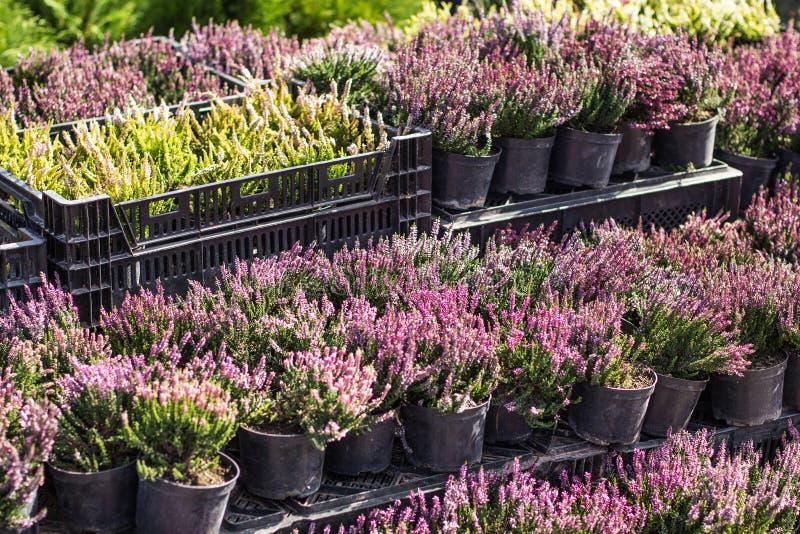 Krukor med rosa ljung i askar Trädgårdmitten, marknad, shoppar royaltyfri foto