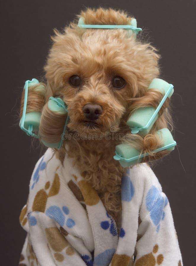 Krullende Hond stock foto's